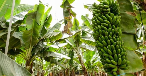 Banane dessert
